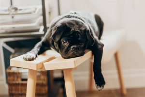 pug bored in lockdown doing business planning